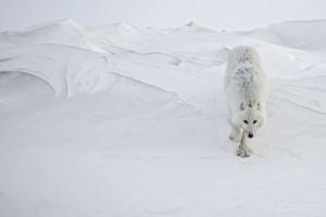 lobo artico Vincent Munier