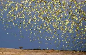 milllones periquitos volando