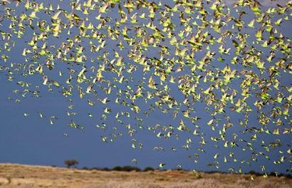 Millones de periquitos volando juntos en Australia