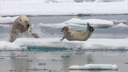 oso polar cazando foca