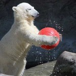 Osos polares jugando al futbol con un droide BB-8