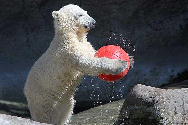 oso polar jugando futbol