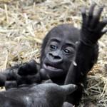 Bebe gorila da sus primeros pasos