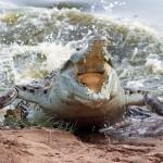 Ataques sorpresa de cocodrilo