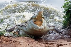 cocodrilo atacando