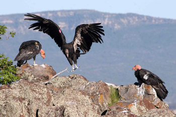 Documental – Condor, regresa a la sierra