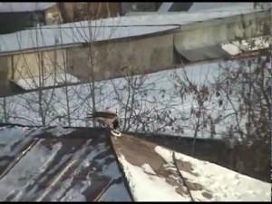 cuervo surfeando tejado nieve