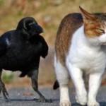 Cuervo y gato jugando