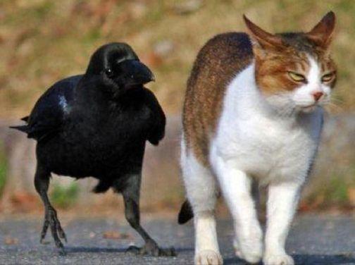gato cuervo