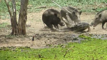 Jabali ataca a cocodrilo para denfender su crias