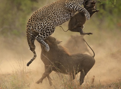 Brutal ataque de madre jabali a un leopardo
