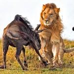 Leon cazando en una manada de ñus