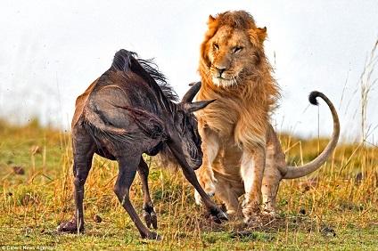 leon cazando ñu