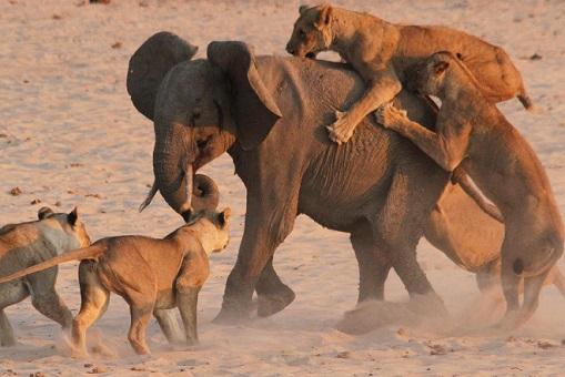 Manada de leones cazando joven elefante