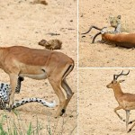 Babuinos salvan a un impala de un leopardo