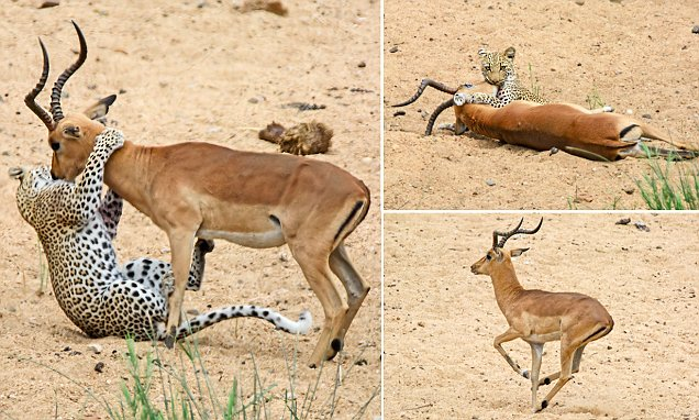 leopardo impala