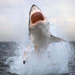 Documental – Australia. El Gran Tiburon Blanco
