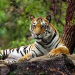 Documental – Tigres y Hombres. Guerra Mortal