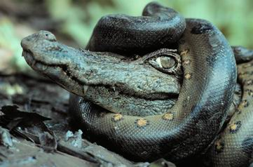 anaconda abraza caiman