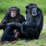 Documental – Chimpaces casi humanos