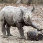 Jugando con crias de rinocerontes en Kenia
