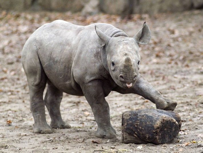 cria rinoceronte