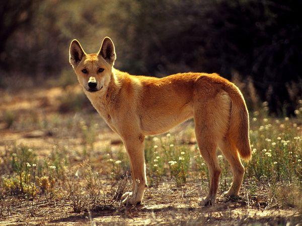 Documental – El verdadero Dingo australiano