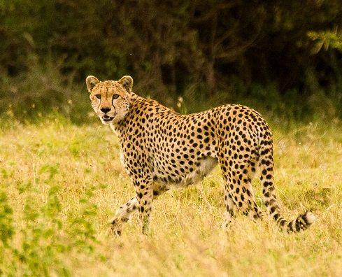 guepardo-Serengeti-tanzania