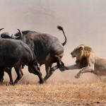 Bufalos arrollan un coche perseguidos por leones