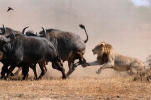 leon cazando bufalo