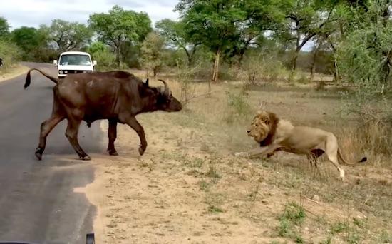 Batalla entre leones y una bufalo con su cria