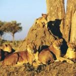 Documental – Juego de Leones en Botswana