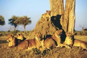 leones bostwana