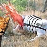 Leopardo detona una cebra