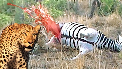 leopardo detona cebra