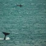 Orca catapulta una foca 20 metros