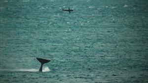 orca catapulta foca