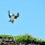Joven albatros aterrizando mal, muy mal