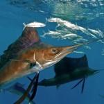 Video del pez vela en Cancun