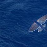 Animales increibles – El pez volador en video
