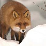 Encuentro con un zorro en un lago helado