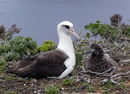Salvando albatro de las subidas del nivel del mar