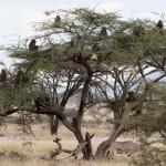 Babuinos atacando a leopardo en arbol