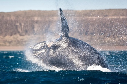 ballena gigante