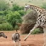 Enfrentamiento entre jirafa y cebra
