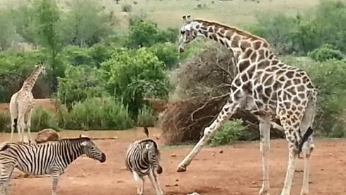 cebra jirafa