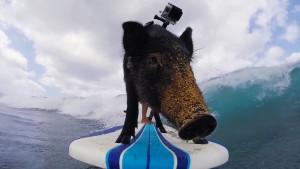 cerdo surfista