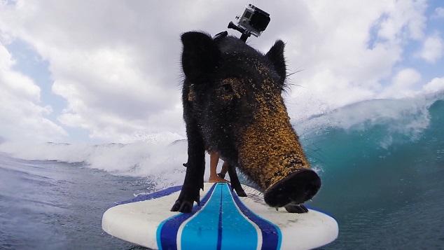 El cerdo surfista