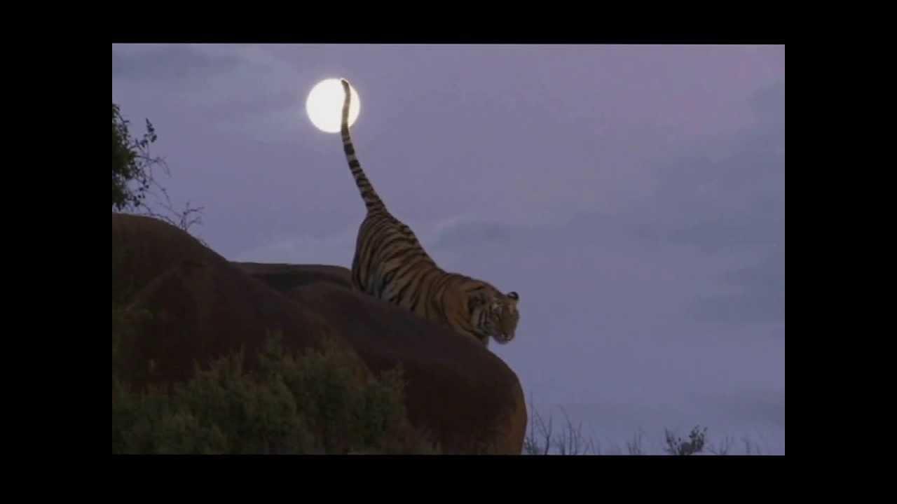 cola tigre luna llena