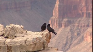 cuervos gran cañon